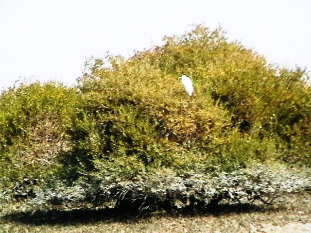 Avicenia marina