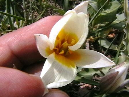 گل بازشده لاله
