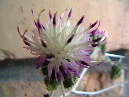 گل گندم